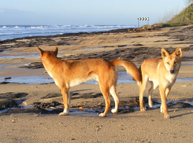 Fraser Island (K'gari) dingoes update