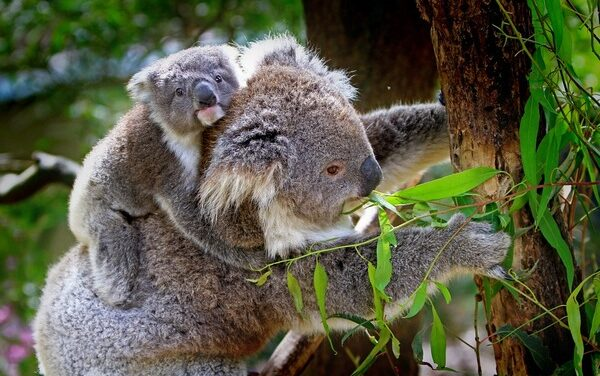 Noosa Koala mapping update