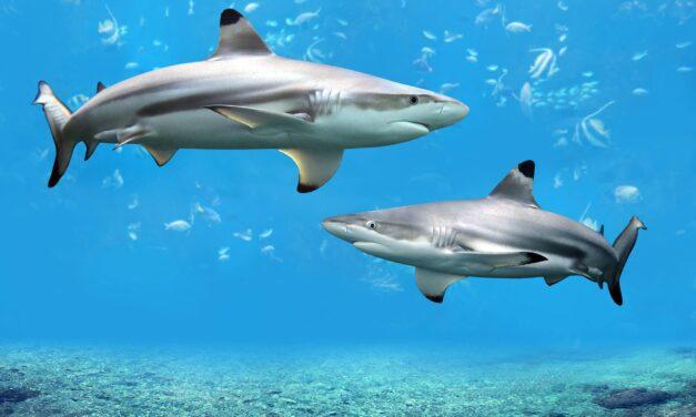 Shark Nets update